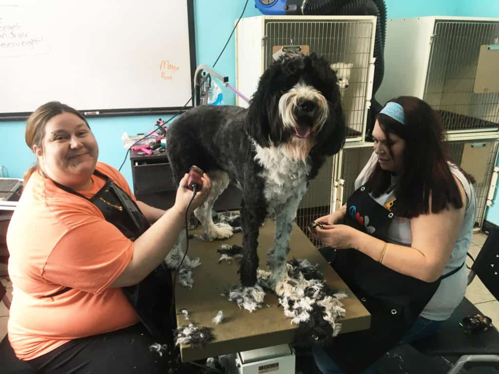 2 staff grooming a dog